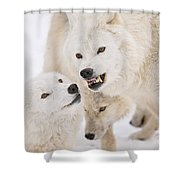 Arctic Wolf Pictures 872 Shower Curtain