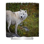 Arctic Wolf Pictures 922 Shower Curtain