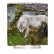 Arctic Wolf Pictures 927 Shower Curtain