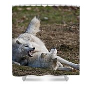 Arctic Wolf Pictures 996 Shower Curtain