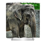 Asian Elephant  0a Shower Curtain