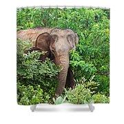 Asian Elephant  Elephas Maximus Shower Curtain