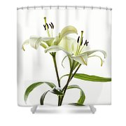 Asiatic Lily Flowers Against White Shower Curtain