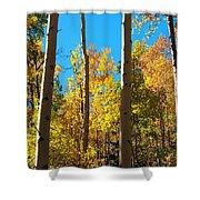 Aspen Trees In Fall Shower Curtain