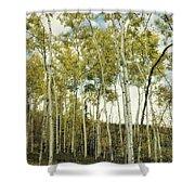 Aspen Trees In Spring  Shower Curtain