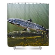 Atlantic Salmon Adults Migrate From Shower Curtain
