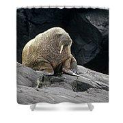 Atlantic Walrus Bull On Rocky Shore Shower Curtain