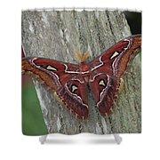 Atlas Moth Portrait Asia Shower Curtain