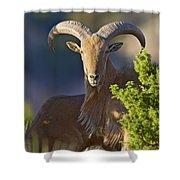 Auodad Ram On Watch Shower Curtain