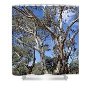 Australian Native Tree 12 Shower Curtain
