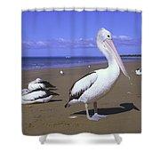 Australian Pelican On Beach Shower Curtain