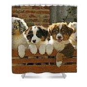 Australian Sheepdog Puppies Shower Curtain