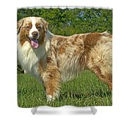 Australian Shepherd Dog Shower Curtain
