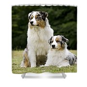 Australian Shepherd Dogs Shower Curtain