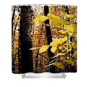 Autumn Birch Trees Shower Curtain