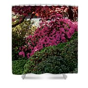 Azaleas And Red Maple Tree Shower Curtain