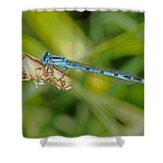 Azure Damselfly  Shower Curtain