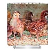 Baby Chicks Under Heat Lamp Art Prints Shower Curtain