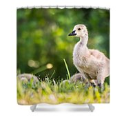 Baby Duckling In The Morning Light Shower Curtain