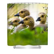 Baby Ducklings Shower Curtain