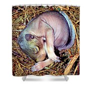 Baby Eastern Gray Squirrel Shower Curtain by Millard H. Sharp