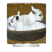 Baby Goats Lying In Food Pan Shower Curtain