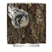 Baby Nuthatch Shower Curtain