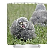 Baby Snowy Owls Shower Curtain