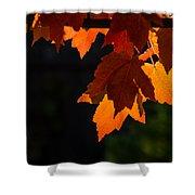 Backlit Autumn Maple Leaves Shower Curtain