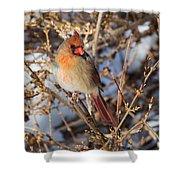 Backyard Birds Female Nothern Cardinal Shower Curtain