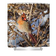 Backyard Birds Female Nothern Cardinal Square Shower Curtain