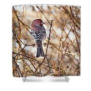 Backyard Birds Male House Finch Shower Curtain