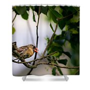 Bad Hair Day-female Northern Cardinal Shower Curtain