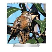 Bahama Woodstar Hummingbird Shower Curtain