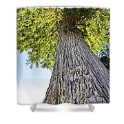 Bald Cypress In Morning Light Shower Curtain
