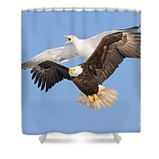 Bald Eagle And Greater Black-backed Gull Shower Curtain