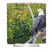 Bald Eagle In Fall Colors Animals Shower Curtain