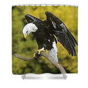 Bald Eagle In Perch Wildlife Rescue Shower Curtain