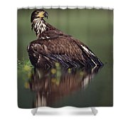 Bald Eagle Juvenile British Columbia Shower Curtain