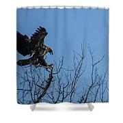 Bald Eagle Juvenile Landing In Tree Top Shower Curtain