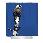 Bald Eagle On A Perch   #2698 Shower Curtain