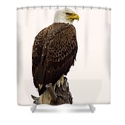Bald Eagle On A Snag Shower Curtain