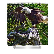Bald Eagle With A Broken Wing In Salmonier Nature Park-nl Shower Curtain