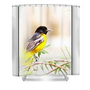 Baltimore Oriole 4348-10 Shower Curtain