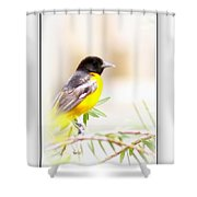 Baltimore Oriole 4348-19 Shower Curtain