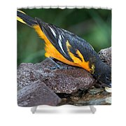 Baltimore Oriole Drinking Shower Curtain
