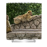Barbary Macaques Shower Curtain