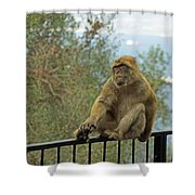 Barbary Macaque  Shower Curtain