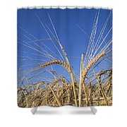 Barley Field Showing Heads Of Grain Shower Curtain