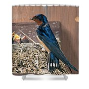 Barn Swallow At Nest Shower Curtain